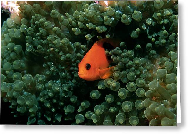 Saddleback Greeting Cards - Red Saddleback Anemonefish Greeting Card by Georgette Douwma
