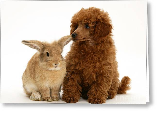 Puppies Photographs Greeting Cards - Red Toy Poodle And Rabbit Greeting Card by Mark Taylor