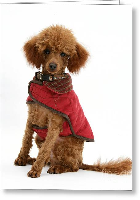 Dog Clothes Greeting Cards - Red Toy Poodle Greeting Card by Mark Taylor