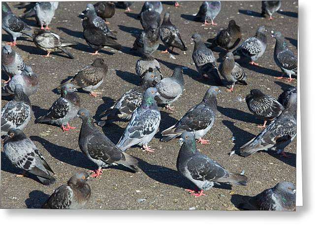 Feral Pigeon Greeting Cards - Rock Pigeons Greeting Card by Georgette Douwma