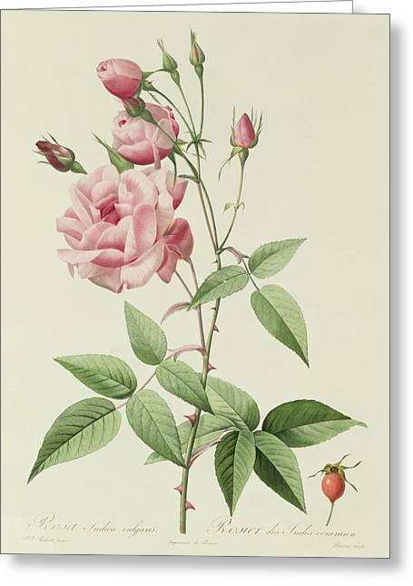 Roses In Bud Greeting Cards - Rosa Indica Vulgaris Greeting Card by Pierre Joseph Redoute