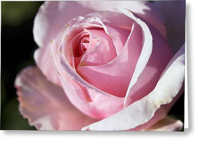 Rosa Sp. Greeting Cards - Rose (rosa savoy Hotel) Greeting Card by Georgette Douwma