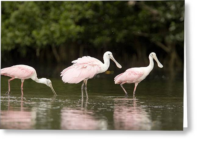 Mangrove Forest Greeting Cards - Roseate Spoonbills Ajaia Ajaja Feed Greeting Card by Tim Laman