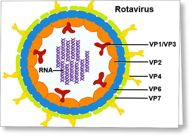 Microbiology Greeting Cards - Rotavirus Greeting Card by Science Source