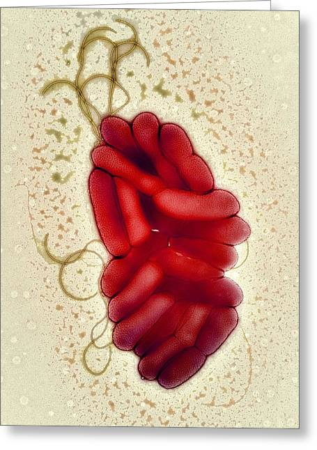 Microbiological Greeting Cards - S. Maltophilia Bacteria, Tem Greeting Card by Centre For Infectionshealth Protection Agency