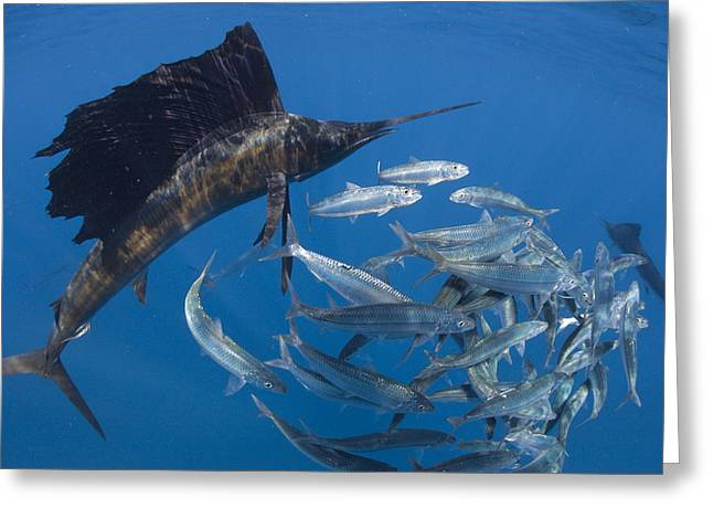 School Of Sardine Greeting Cards - Sailfish Hunt Sardines Using Greeting Card by Paul Nicklen