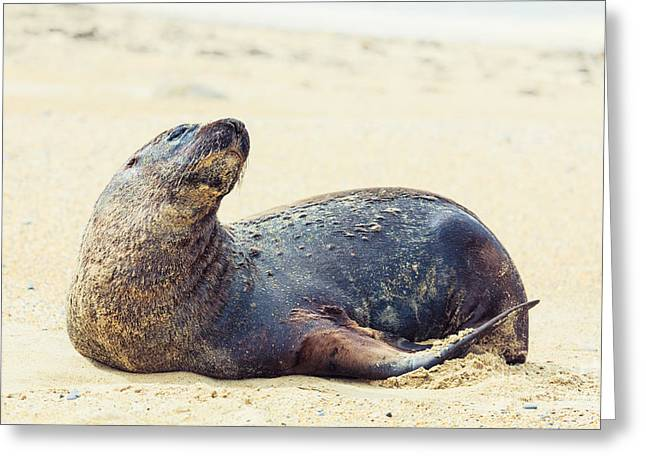 Sea Lions Greeting Cards - Sea lion Greeting Card by MotHaiBaPhoto Prints