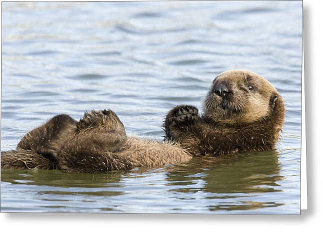 Monterey Bay Images Greeting Cards - Sea Otter Pup Elkhorn Slough Monterey Greeting Card by Sebastian Kennerknecht