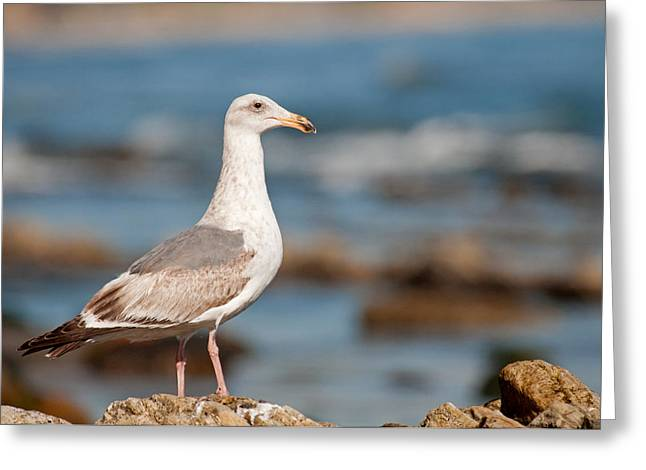 Surf City Greeting Cards - Seagull Greeting Card by Elijah Weber