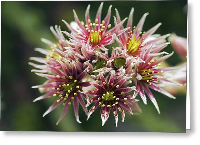 Sempervivum Greeting Cards - Sempervivum collecteur Anchisi Greeting Card by Dr Keith Wheeler