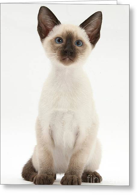 Domesticated Animal Greeting Cards - Siamese Kitten Greeting Card by Mark Taylor