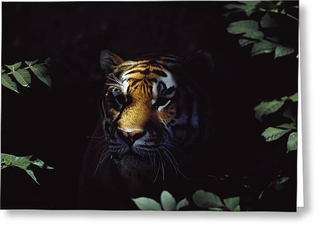 Altaica Greeting Cards - Siberian Tiger Panthera Tigris Altaica Greeting Card by David Ponton