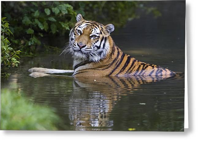 Tigris Greeting Cards - Siberian Tiger Panthera Tigris Altaica Greeting Card by Konrad Wothe