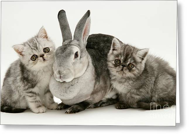 Cute Kitten Greeting Cards - Silver Exotic Kittens And Silver Rex Greeting Card by Jane Burton