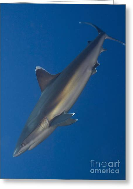 Elasmobranch Greeting Cards - Silvertip Shark, Kimbe Bay, Papua New Greeting Card by Steve Jones