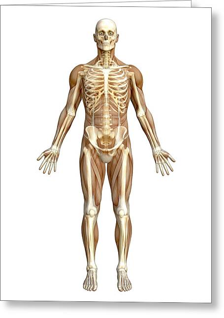 Skeletal Muscle Greeting Cards - Skeleton Greeting Card by Roger Harris