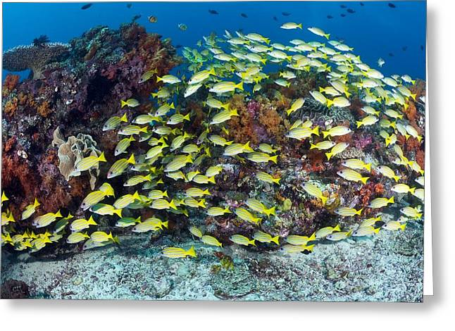 Snapper Greeting Cards - Snappers Over A Reef Greeting Card by Matthew Oldfield