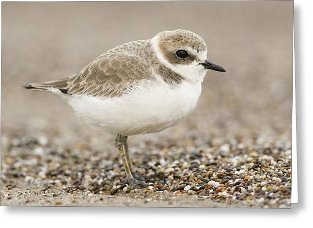 Snowy Day Greeting Cards - Snowy Plover In Winter Plumage Point Greeting Card by Sebastian Kennerknecht