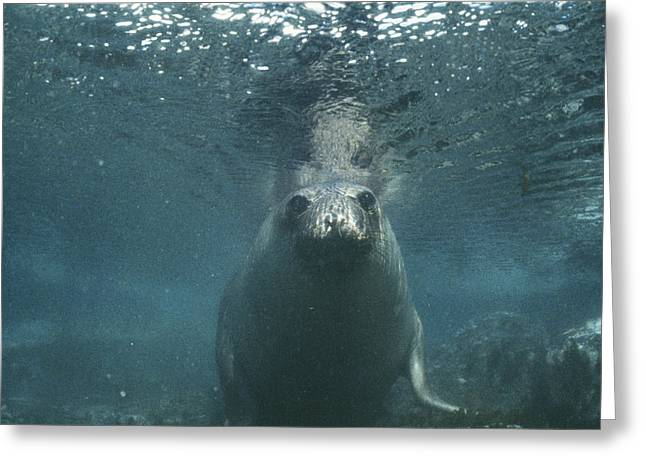 Elephant Seals Greeting Cards - Southern Elephant Seal Greeting Card by Doug Allan