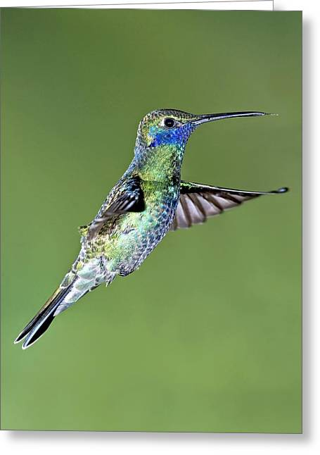 Coloured Plumage Greeting Cards - Sparkling Violetear Hummingbird Greeting Card by Tony Camacho