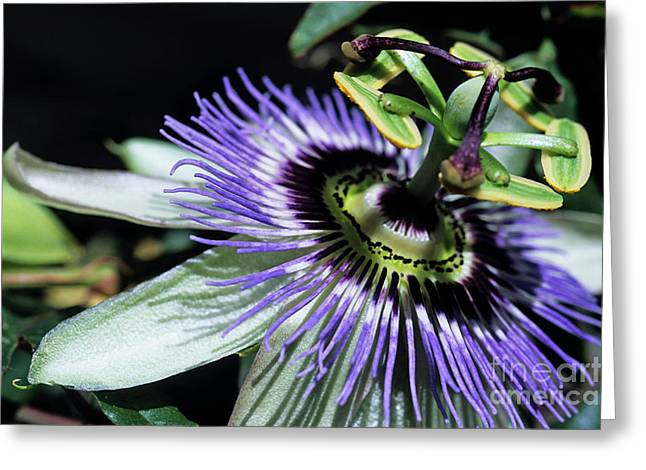 Passionflower Photographs Greeting Cards - Stamen of a Passionflower Greeting Card by Sami Sarkis
