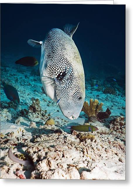 Balloonfish Greeting Cards - Star Puffer Greeting Card by Georgette Douwma