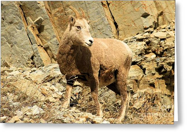 Sheep On Rocks Greeting Cards - Strike A Pose Greeting Card by Adam Jewell