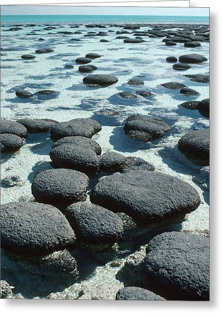 Shark Bay Greeting Cards - Stromatolites Greeting Card by Georgette Douwma