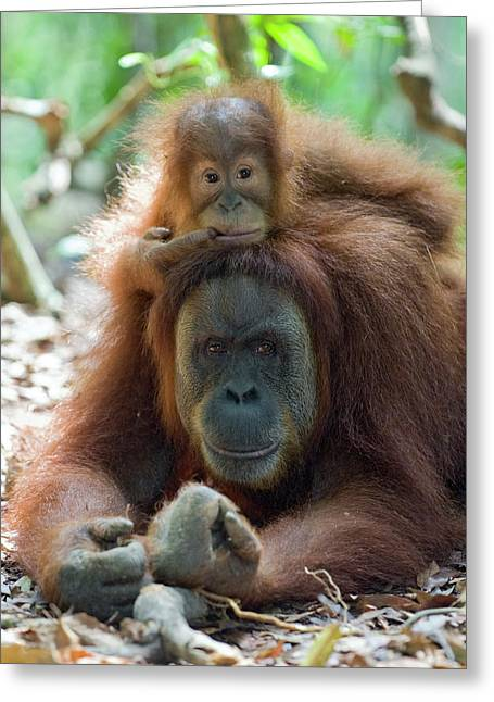 Sumatran Orang-utan Greeting Cards - Sumatran Orangutan Pongo Abelii Mother Greeting Card by Suzi Eszterhas