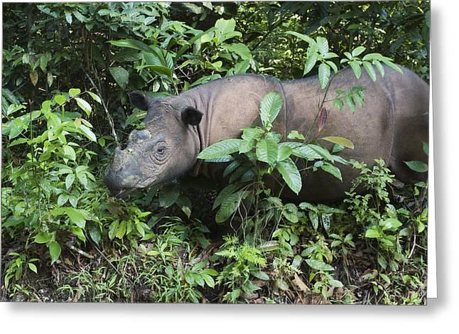 Rhinocerotidae Greeting Cards - Sumatran Rhinoceros Sumatran Rhino Greeting Card by Suzi Eszterhas