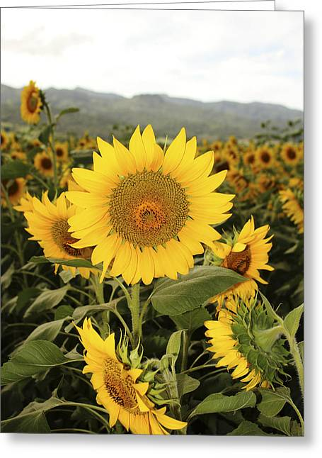 Vince Greeting Cards - Sunflower field Greeting Card by Vince Cavataio - Printscapes