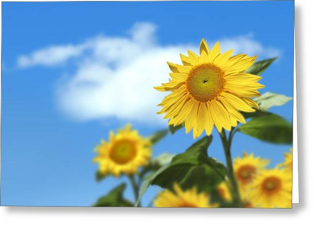 Yellow Sunflower Greeting Cards - Sunflowers, Artwork Greeting Card by Victor Habbick Visions
