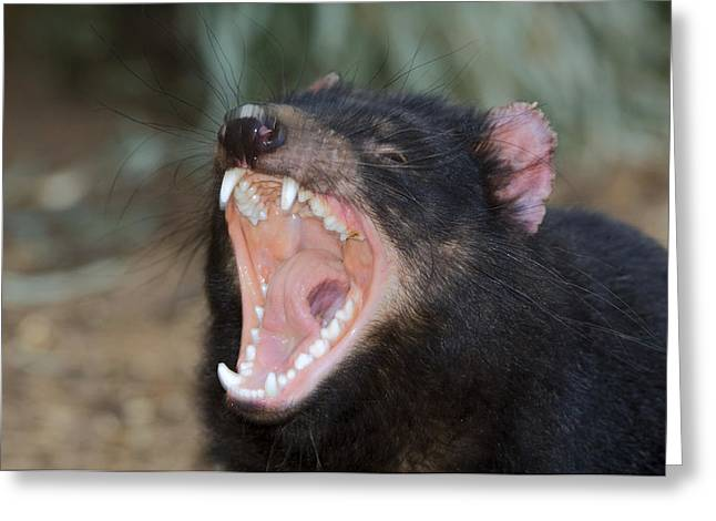 Tasmanian Devil Greeting Card by Tony Camacho