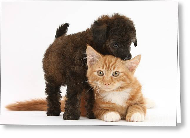 Toy Dog Greeting Cards - Toy Poodle Puppy With Kitten Greeting Card by Mark Taylor