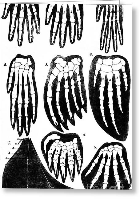 Mammalian Greeting Cards - Vertebrate Mammal Forefeet, Ernst Greeting Card by Science Source