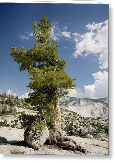 Pinus Greeting Cards - Western White Pine (pinus Monticola) Greeting Card by Bob Gibbons