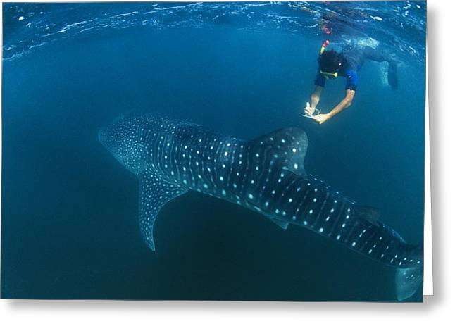 Snorkelling Greeting Cards - Whale Shark And Snorkeler Greeting Card by Alexis Rosenfeld