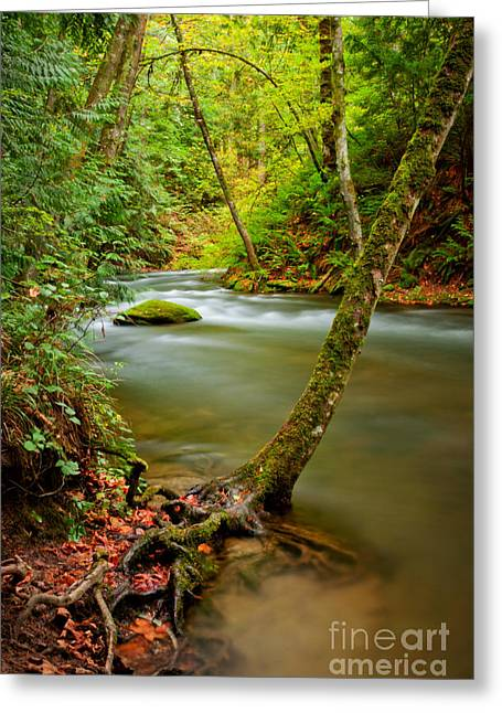 Tree Roots Greeting Cards - Whatcom Creek Greeting Card by Idaho Scenic Images Linda Lantzy