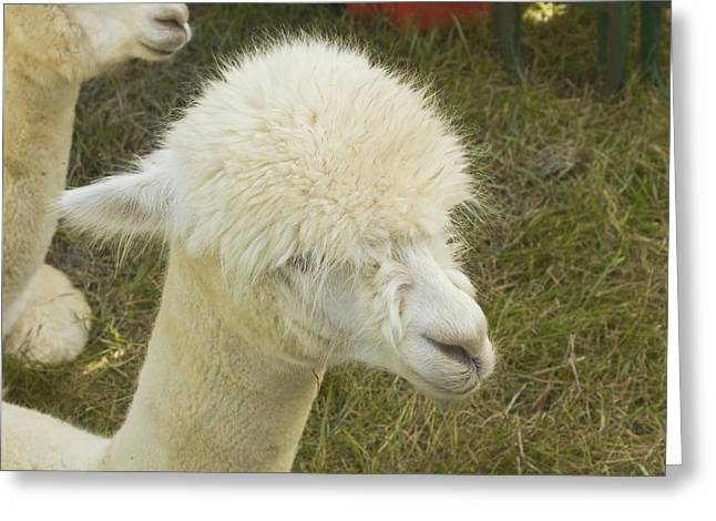 Alpaca Greeting Cards - White Alpaca Greeting Card by Keith Webber Jr