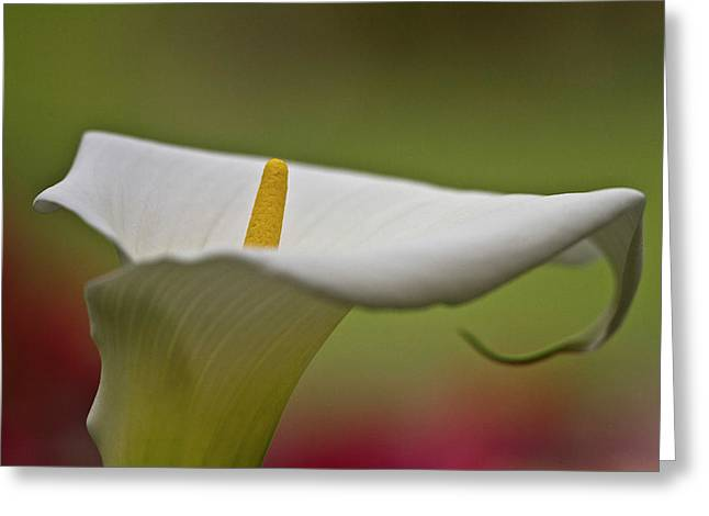 White Calla Greeting Card by Heiko Koehrer-Wagner