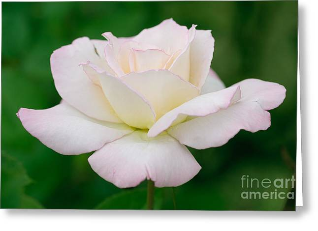 Occasion Greeting Cards - White Rose With Pink Edge Greeting Card by Atiketta Sangasaeng