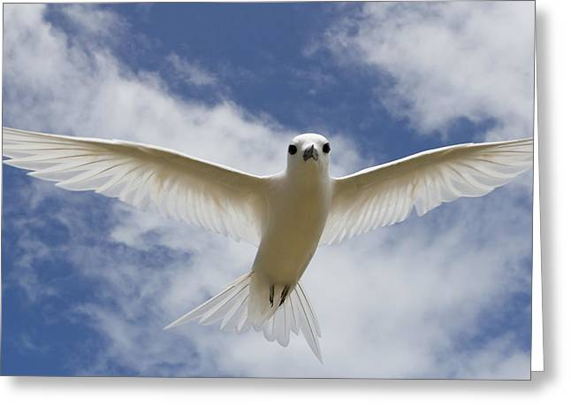 Tern Greeting Cards - White Tern Flying Midway Atoll Hawaiian Greeting Card by Sebastian Kennerknecht