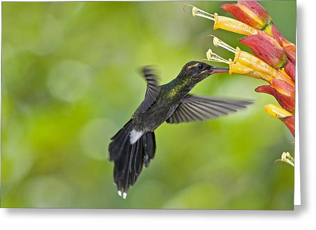 Coloured Plumage Greeting Cards - White-whiskered Hermit Hummingbird Greeting Card by Tony Camacho