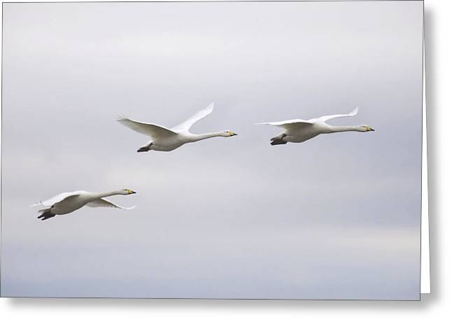 Fly In Greeting Cards - Whooper Swans Greeting Card by Denise Swanson