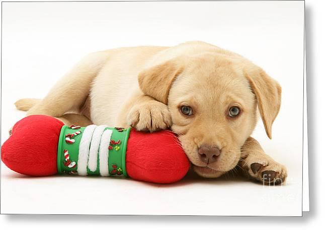 Yellow Dog Greeting Cards - Yellow Labrador Retriever Puppy Greeting Card by Jane Burton