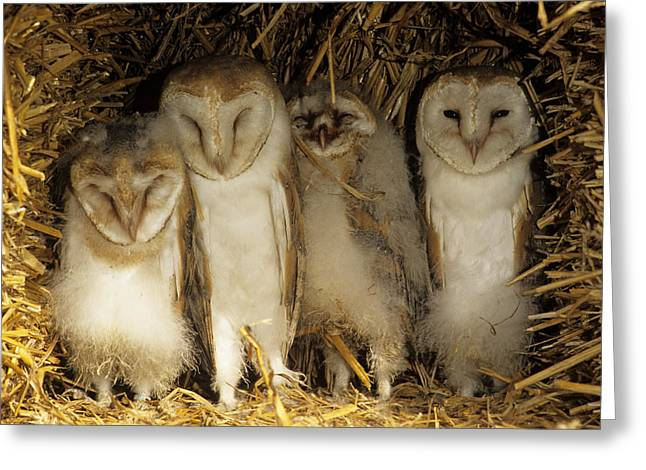 Quartet Greeting Cards - Young Barn Owls Greeting Card by Duncan Shaw