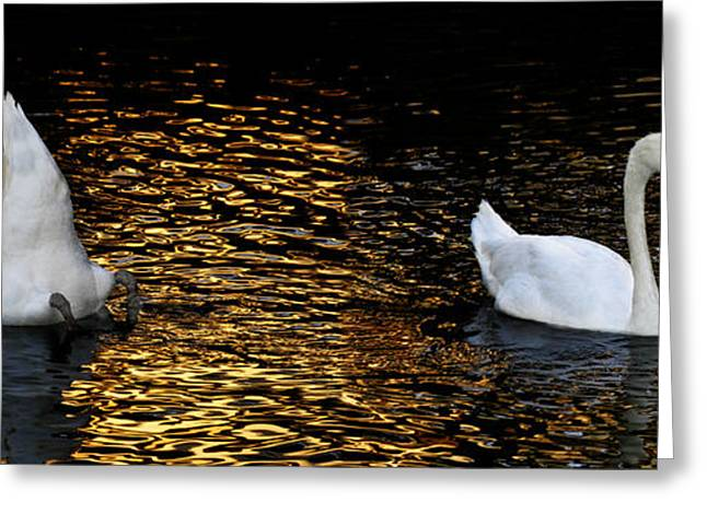 Swans... Greeting Cards - 2005 Greeting Card by Peter Holme III
