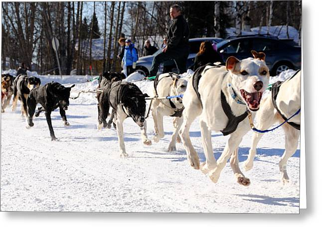 Sled Dogs Greeting Cards - 2011 Open North American Sled Dog Race Greeting Card by Gary Whitton