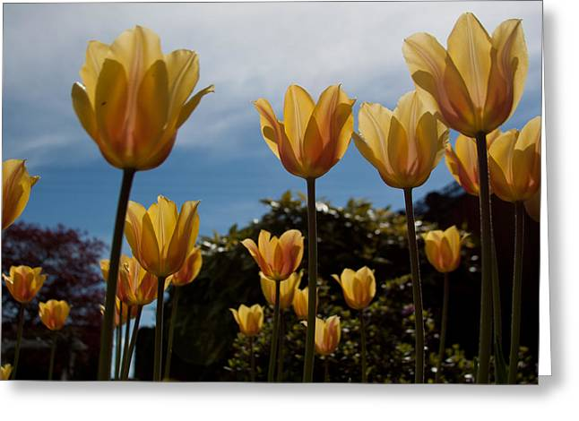 2012 Tulips 06 Greeting Card by Robert  Torkomian