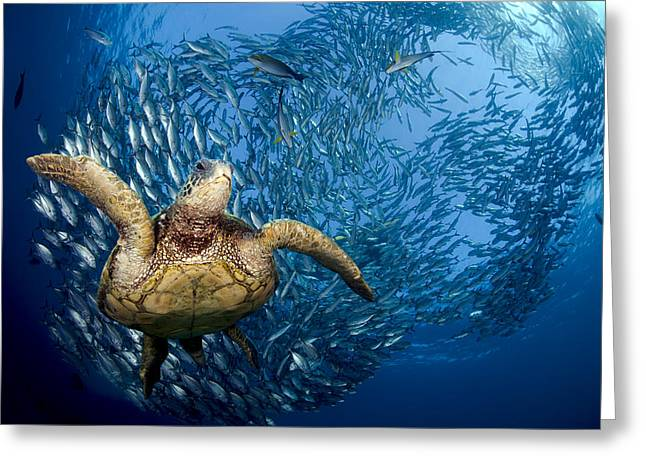 Green Sea Turtle Greeting Card by Dave Fleetham